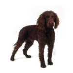 Petland Carriage Place American Water Spaniel