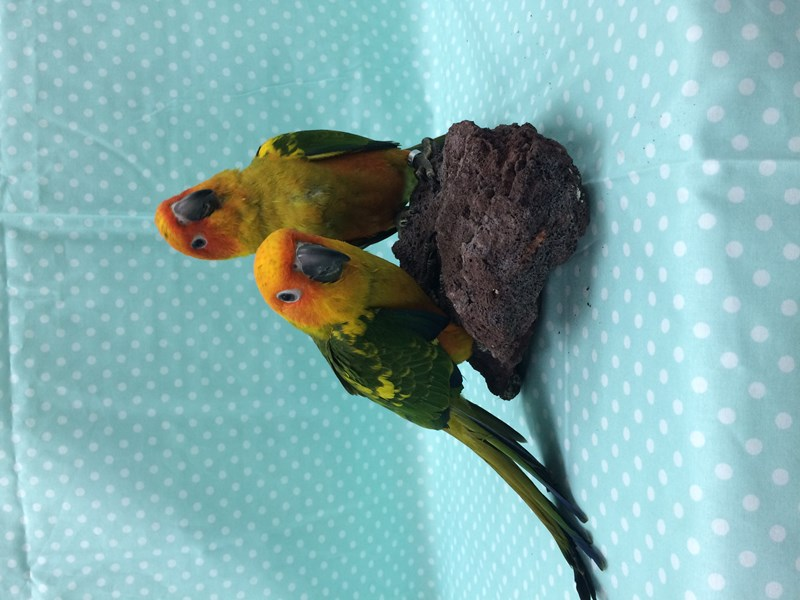 Sun Conure-Male-YELLOW, RED-1495803-Petland Carriage Place