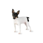 Petland Carriage Place Toy Fox Terrier
