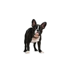 Boston Terrier Puppies Petland Carriage Place