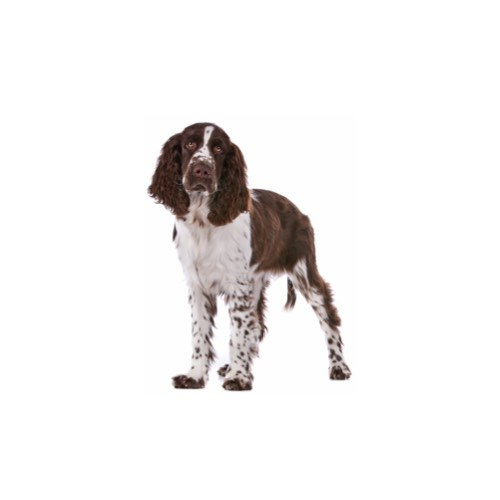 English Springer Spaniel Puppies Petland Carriage Place