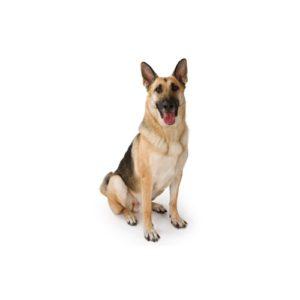 German Shepherd Puppies - Petland Carriage Place