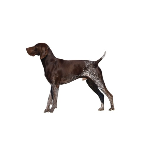 German Shorthaired Pointer Puppies Petland Carriage Place