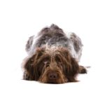 Petland Carriage Place German Wirehaired Pointer