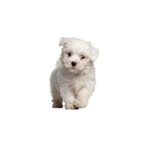 Pom Poo Puppies Petland Carriage Place Ohio
