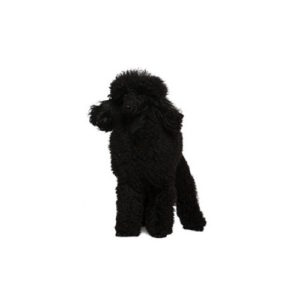 Poodle Puppies - Petland Carriage Place