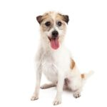 Petland Carriage Place Jack Russel Terrier