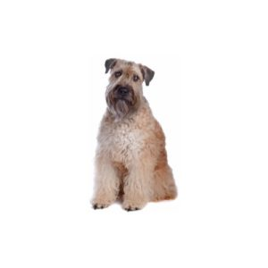 Soft Coated Wheaten Terrier - Petland Carriage Place