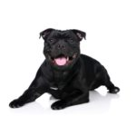 Petland Carriage Place Staffordshire Bull Terrier