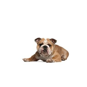 Victorian Bulldog Breed Info Petland Carriage Place Columbus Ohio