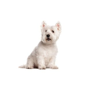 West Highland Terrier Puppies - Petland Carriage Place