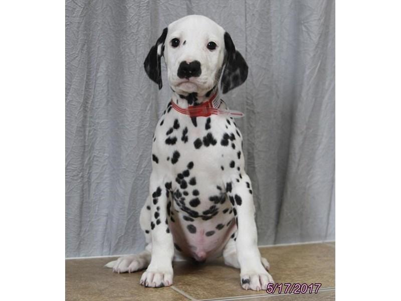 Dalmatian Puppies Petland Carriage Place