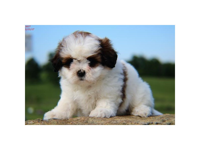 Bichon Friseshih Tzu Dog Female Sable And White 1810330 Petland