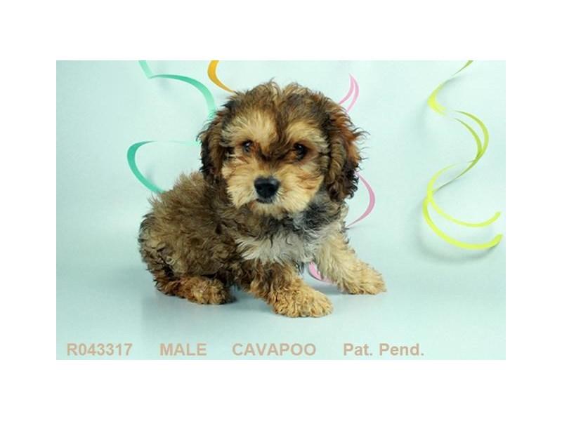 Cavapoo-DOG-Male-APCT-1870803-Petland Carriage Place