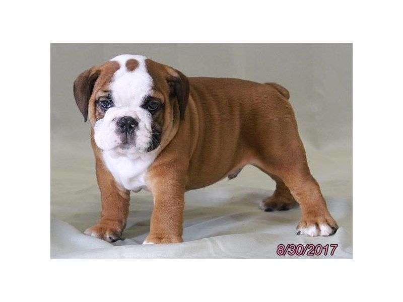 Victorian Bulldog-Male-Red / White-1882428-Petland Carriage Place