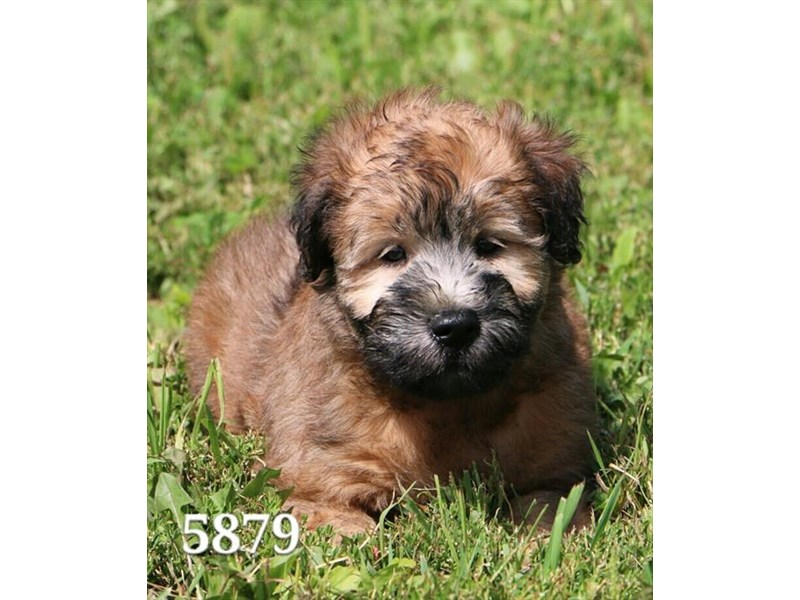 Soft Coated Wheaten Terrier Dog Female