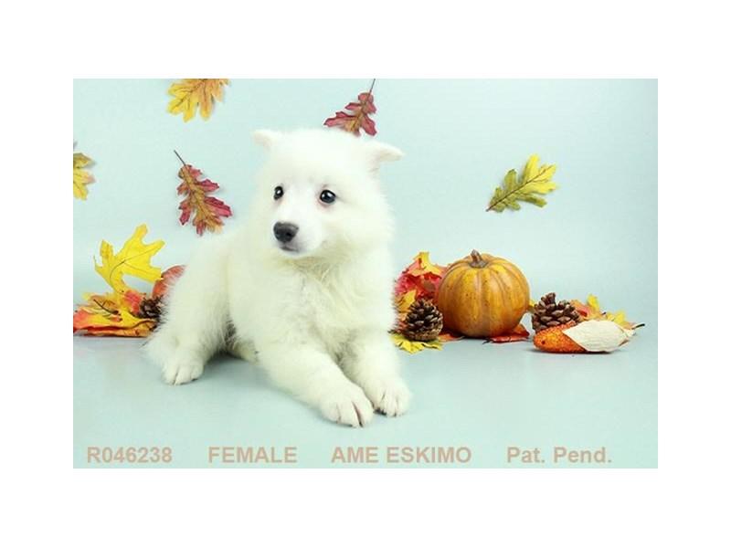 American Eskimo-Female-White-1919687-Petland Carriage Place