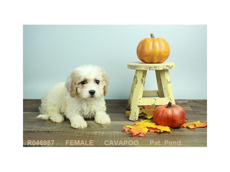 Cavapoo-DOG-Female-BHEIM-1924565-Petland Carriage Place