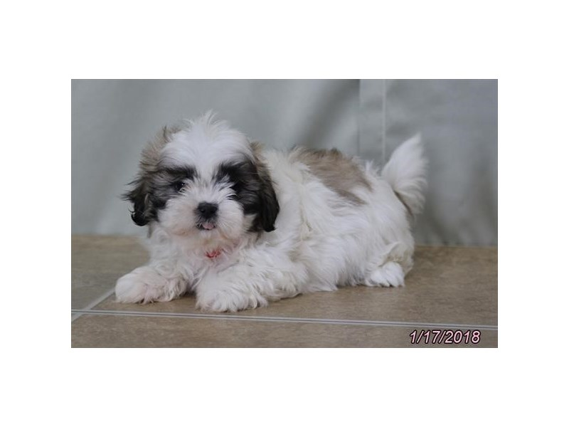 Come To Visit Our Shih Tzu Puppies For Sale Near Westerville Ohio