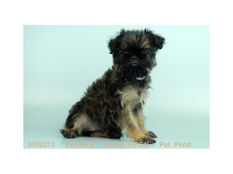 Brussels Griffon-Female-BLG-2003247-Petland Carriage Place