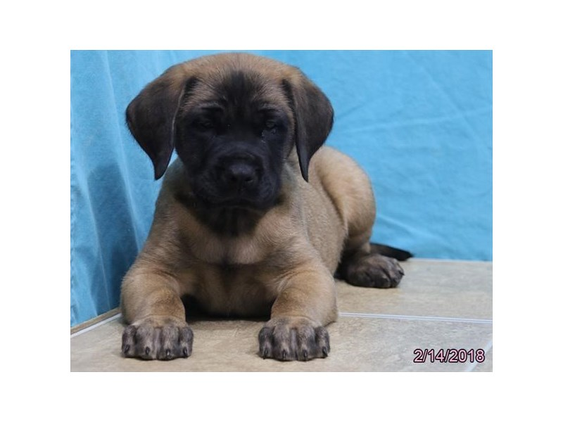 Mastiff-Male-Fawn-2020106-Petland Carriage Place