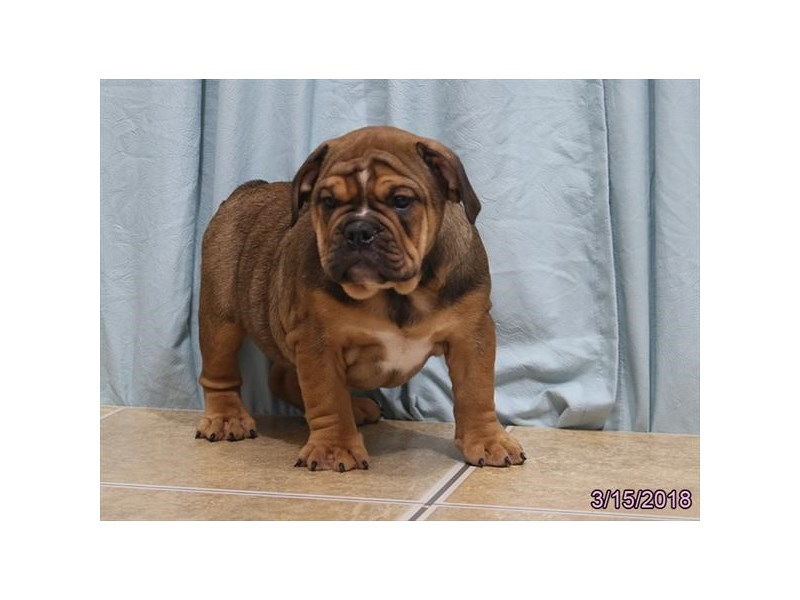 Victorian Bulldog-Female-Red-2034228-Petland Carriage Place
