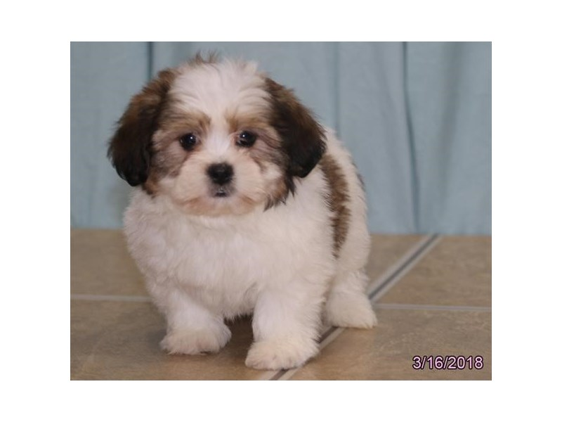 Teddy Bear-Female-Brown / White-2036017-Petland Carriage Place