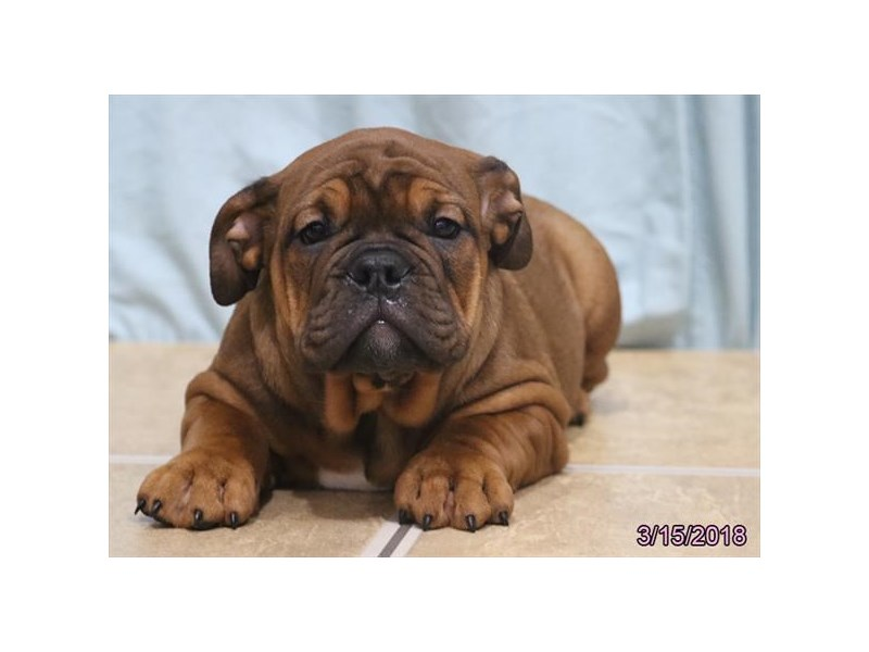 Victorian Bulldog-Female-Red-2034232-Petland Carriage Place