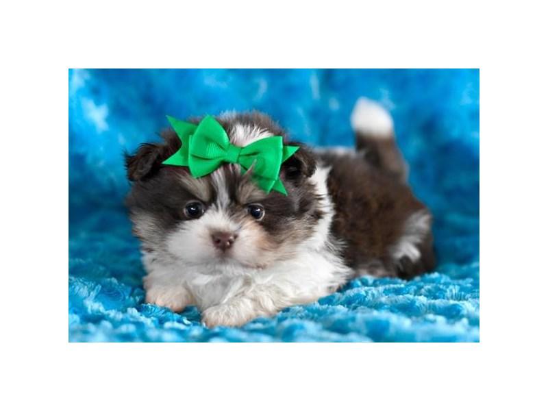 Pomeranian/Shih Tzu-Male-Chocolate / White-2045875-Petland Carriage Place