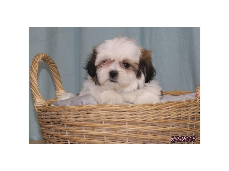 Teddy Bear-Female-Gold / White-2079178-Petland Carriage Place