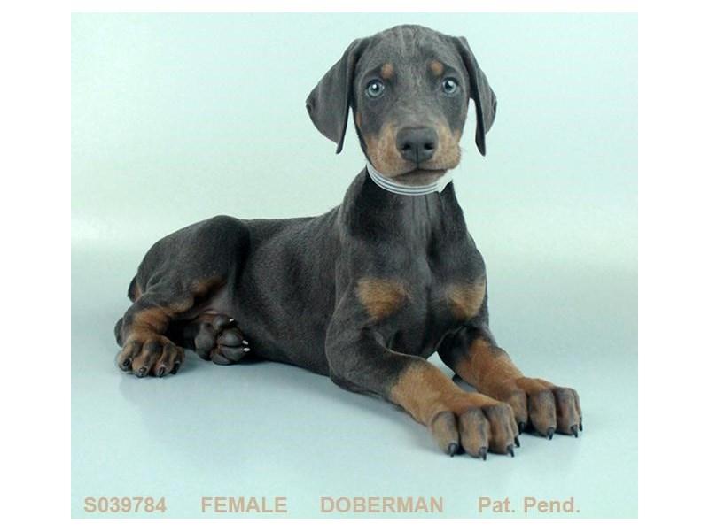 Doberman Pinscher-Female-BL & RST-2086271-Petland Carriage Place