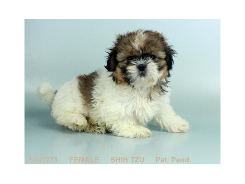 Come To Visit Our Shih Tzu Puppies For Sale Near Hilliard Ohio