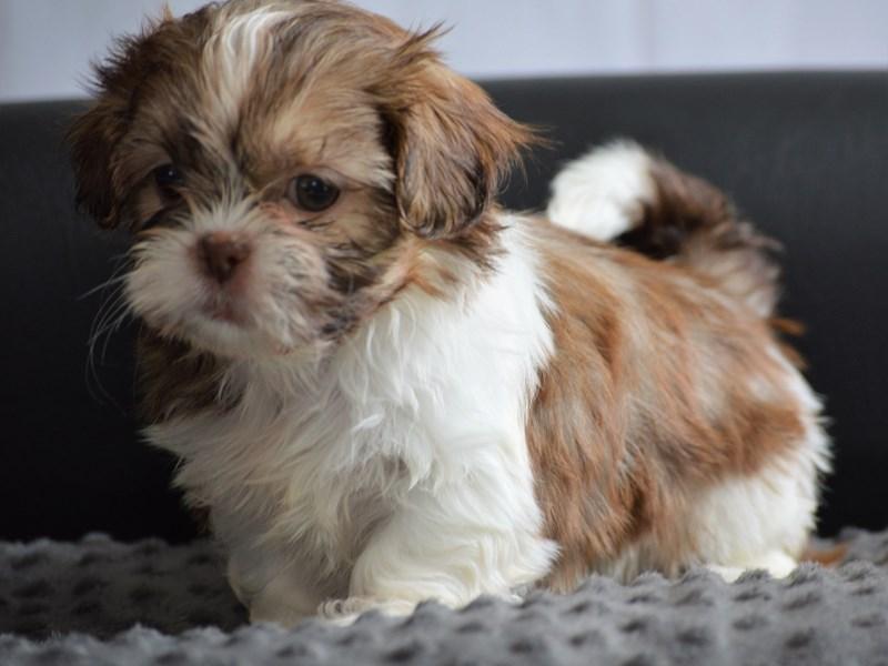 Shih Tzu-DOG-Female-Chocolate / White-2104187-Petland