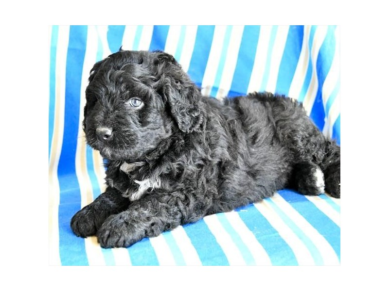Mini Bernadoodle-Male-Black-2104198-Petland Carriage Place