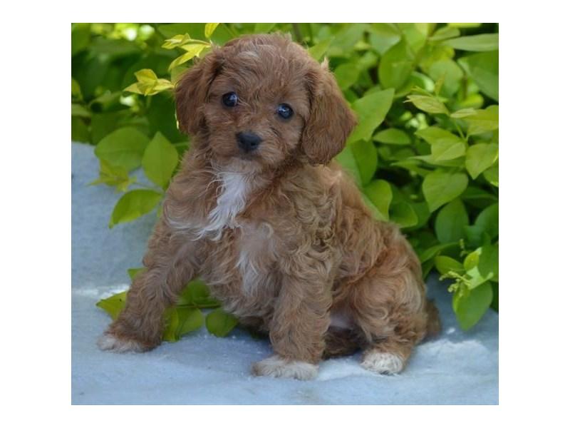 Cavalier King Charles Spanielminiature Poodle Dog Female