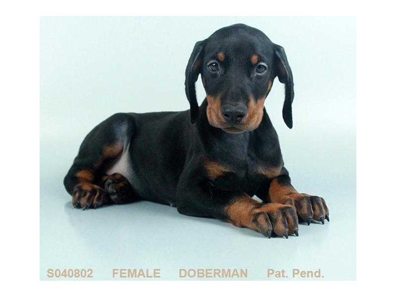 Doberman Pinscher-Female-BL & RST-2098876-Petland Carriage Place