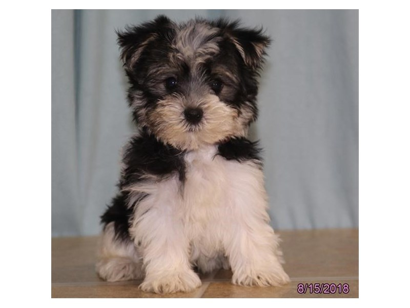 morkie puppies petland carriage place