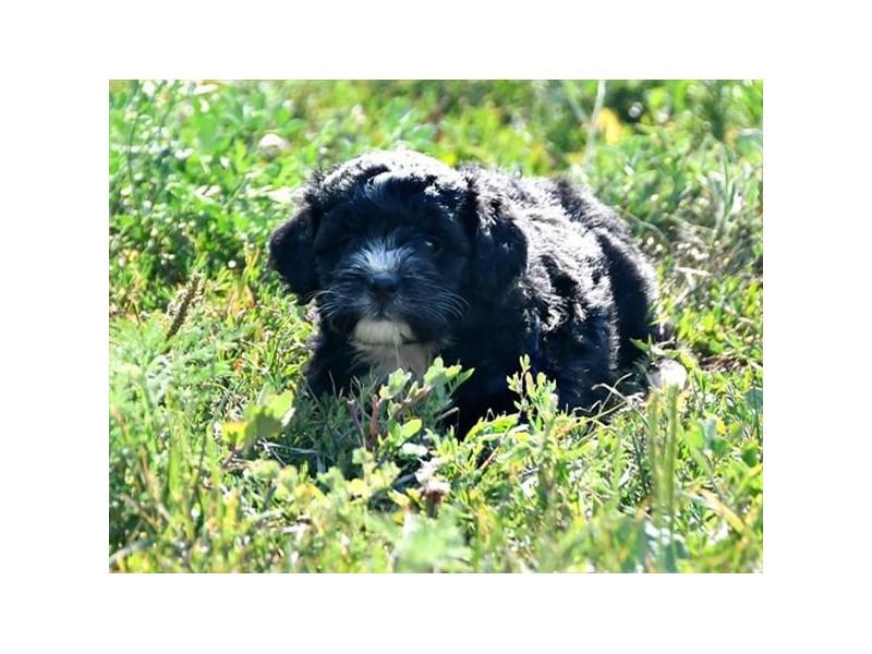 Mini Bernadoodle-Female-Black / White-2155582-Petland Carriage Place