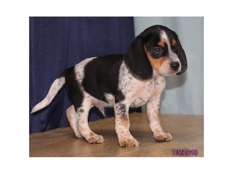 Beagle-Male-Black / Tan-2124404-Petland Carriage Place