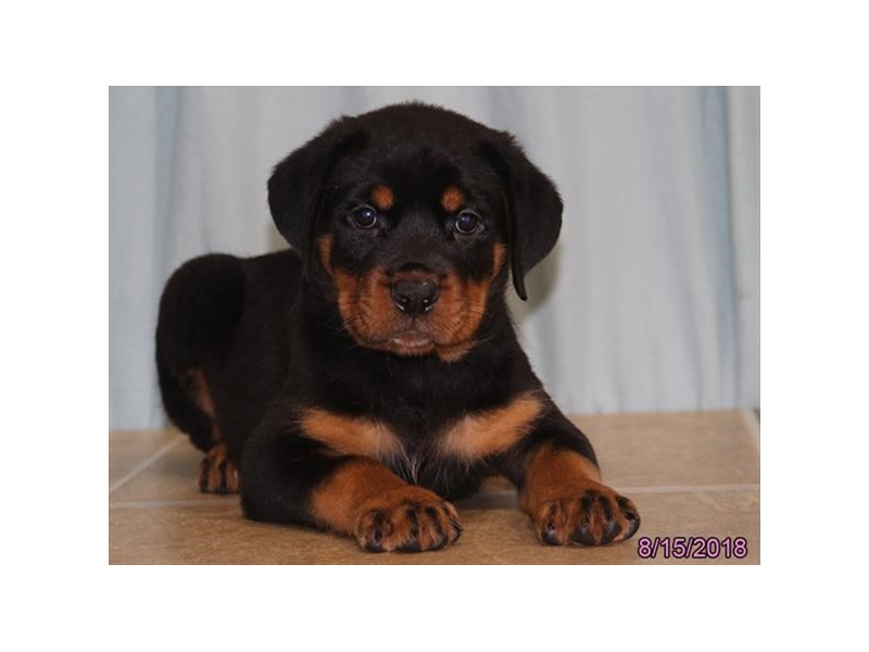 Rottweiler Puppies Visit Petland In Columbus Ohio