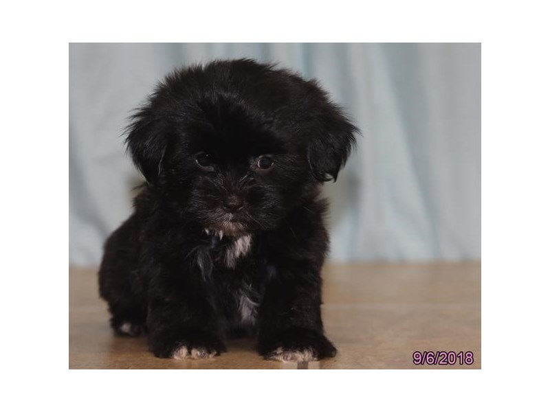 Shorkie-Male-Black/ White-2171269-Petland Carriage Place