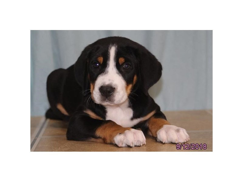 Greater Swiss Mountain Dog-Male-Black, White,& Red-2176054-Petland Carriage Place