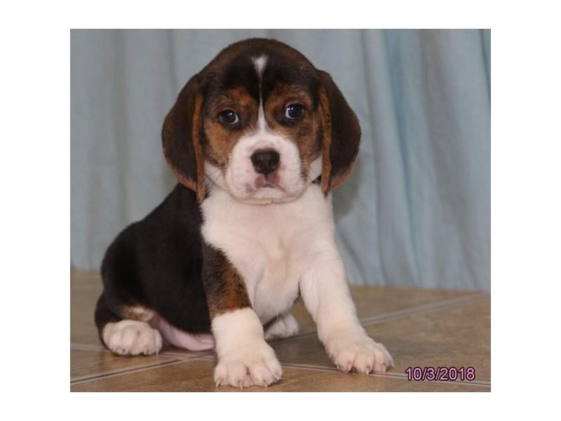 Beagle-Male-Tri-Colored-2189723-Petland Carriage Place