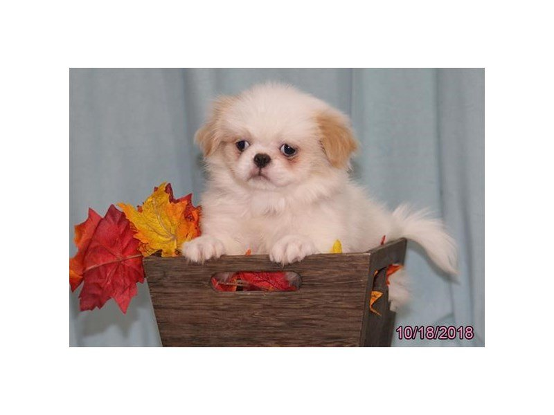 Japanese Chin-Female-Fawn / White-2199516-Petland Carriage Place
