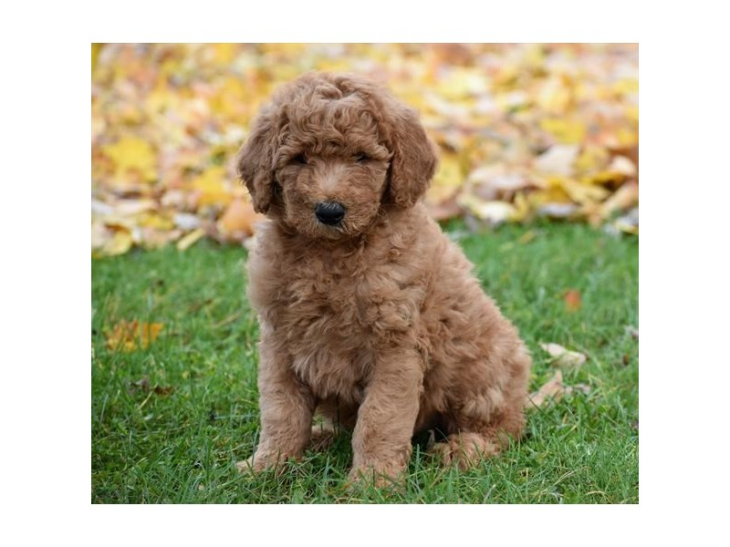 Goldendoodle 2nd Gen-DOG-Male-Apricot-2218243-Petland Carriage Place