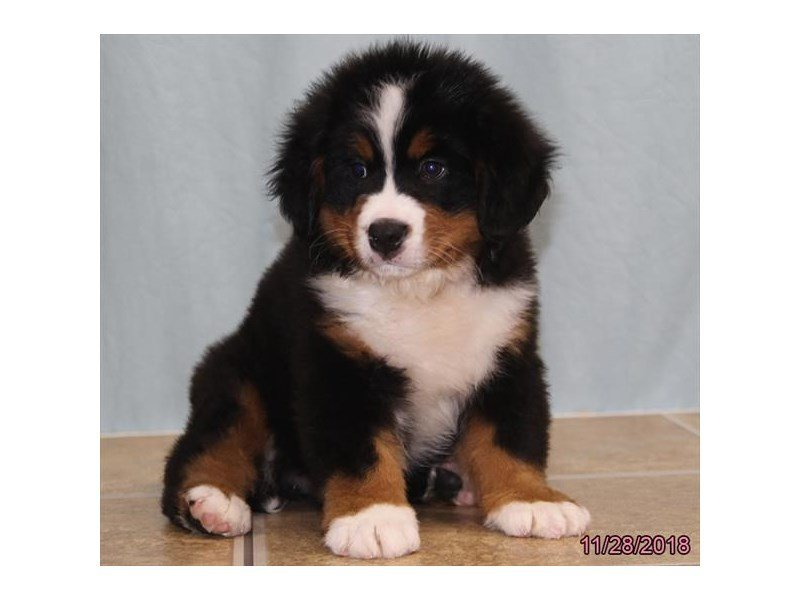 Bernese Mountain Dog Dog Male Black Rust White 2227324