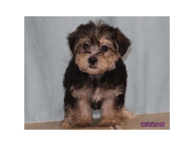Yorkiepoo Puppies Petland Carriage Place Columbus Ohio
