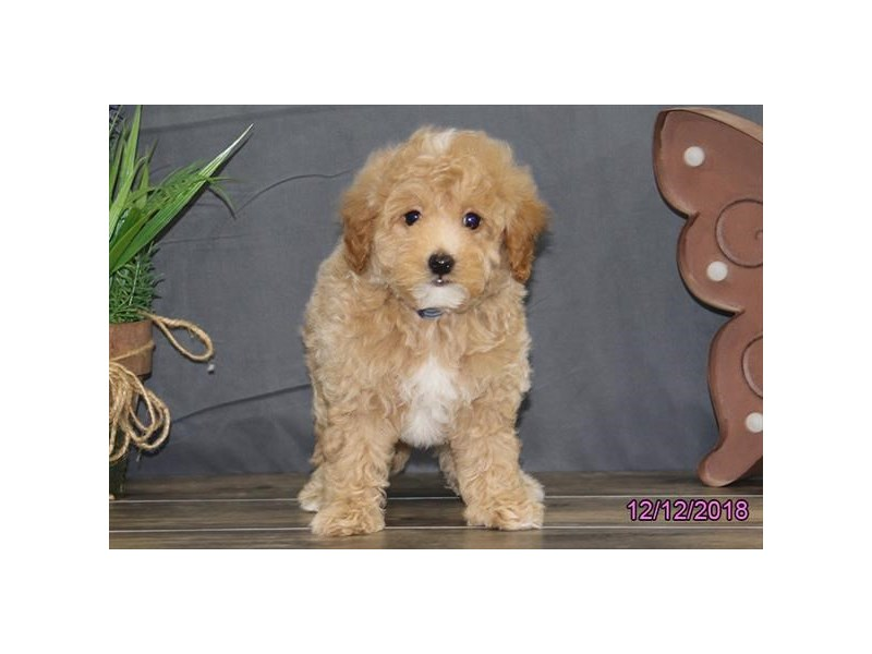 Mini Goldendoodle 2nd Gen-DOG-Male-Red / White-2239487-Petland Carriage Place
