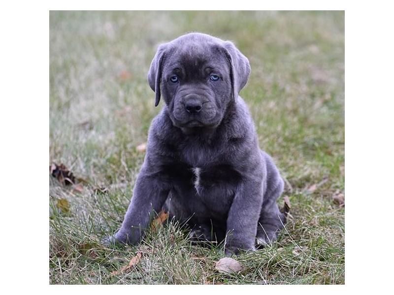 Cane Corso Dog Male Blue Brindle 2251506 Petland Carriage Place