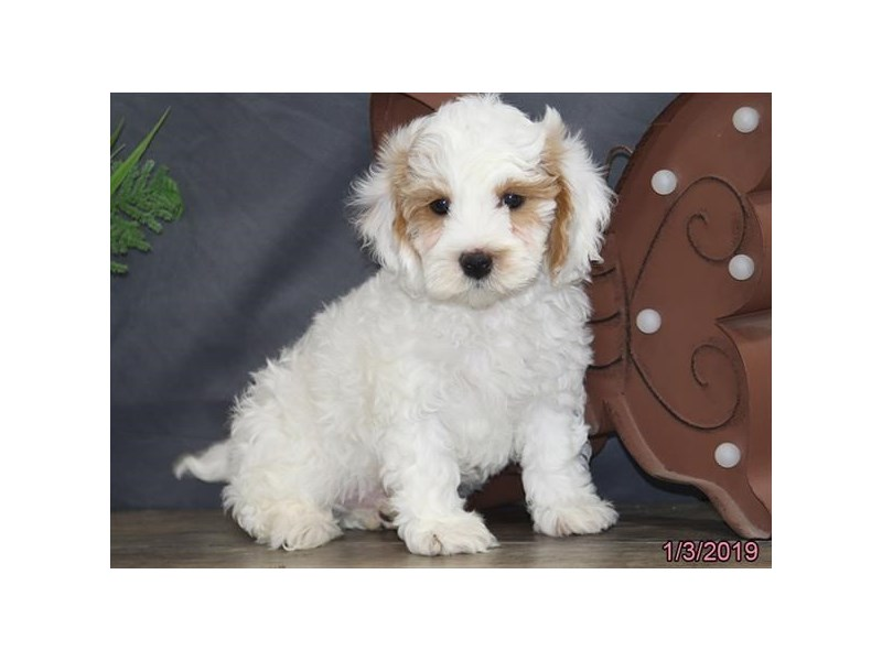 Cavapoo-DOG-Male-Red-2058760-Petland Carriage Place